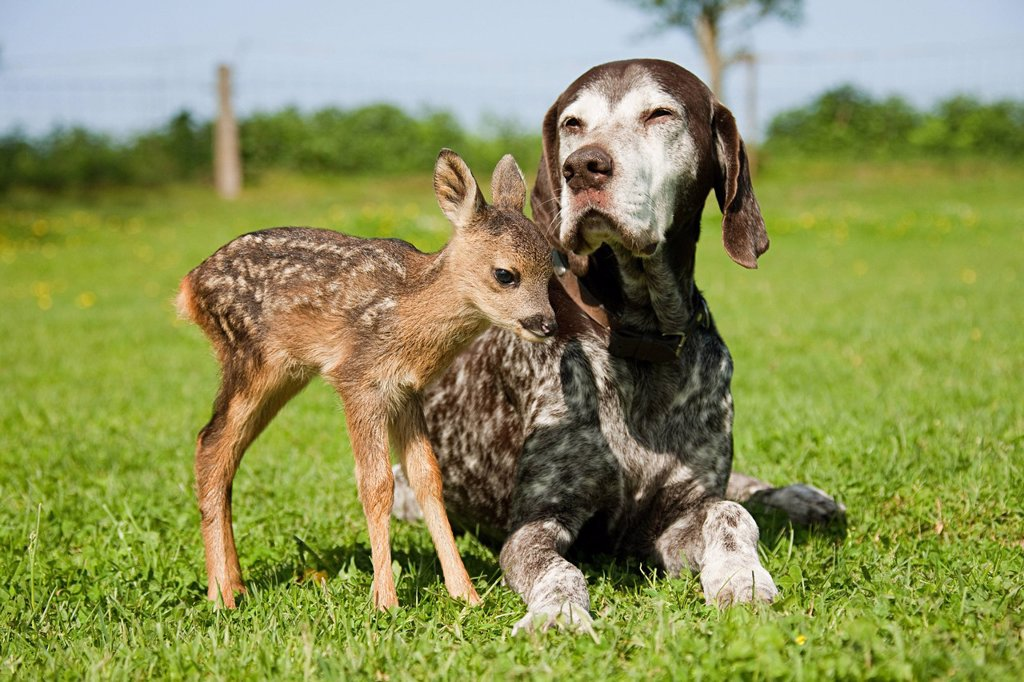 Fawn and dog sitting on grass : Stock Photo