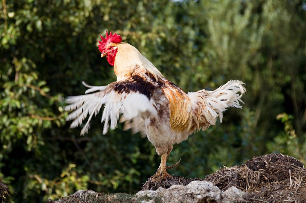 Stock Photo: 1439R-1131495 One rooster standing, flapping wings