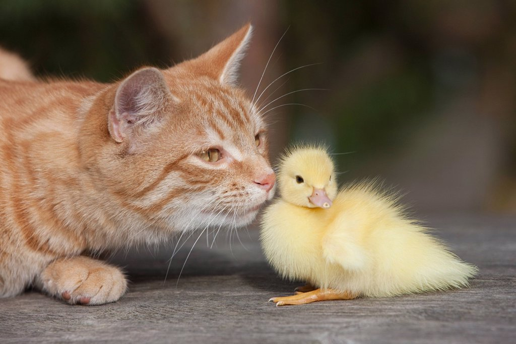 Ginger cat and duckling : Stock Photo