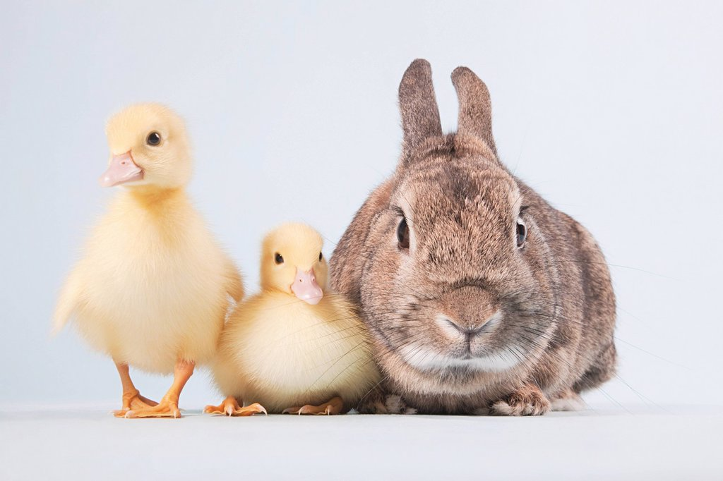 Two ducklings and rabbit, studio shot : Stock Photo