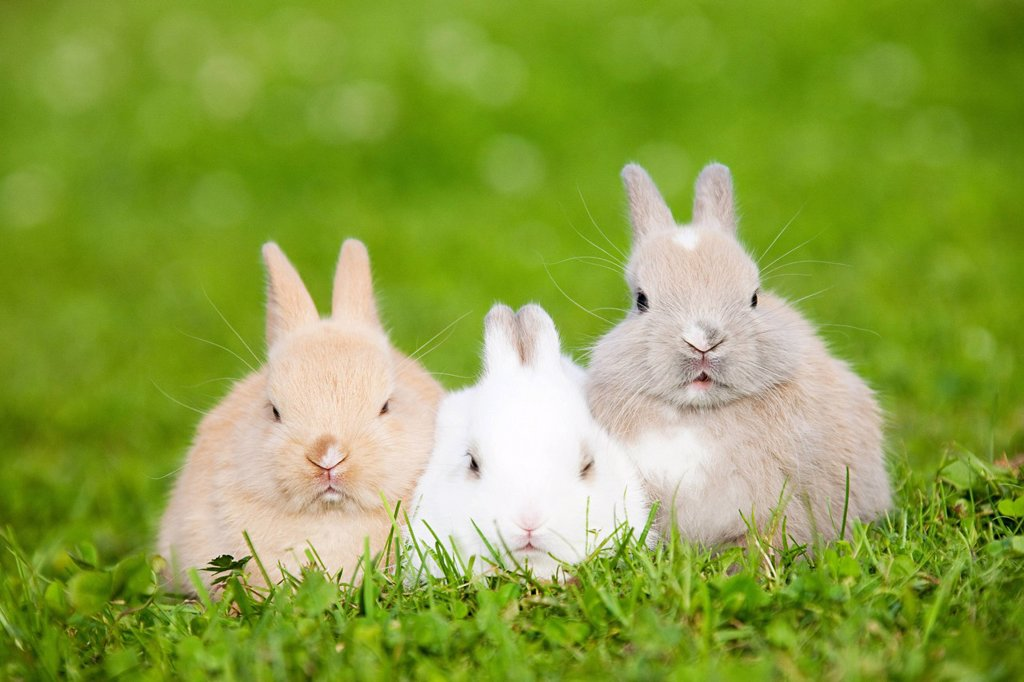 Stock Photo: 1439R-1131786 Three rabbits sitting on grass