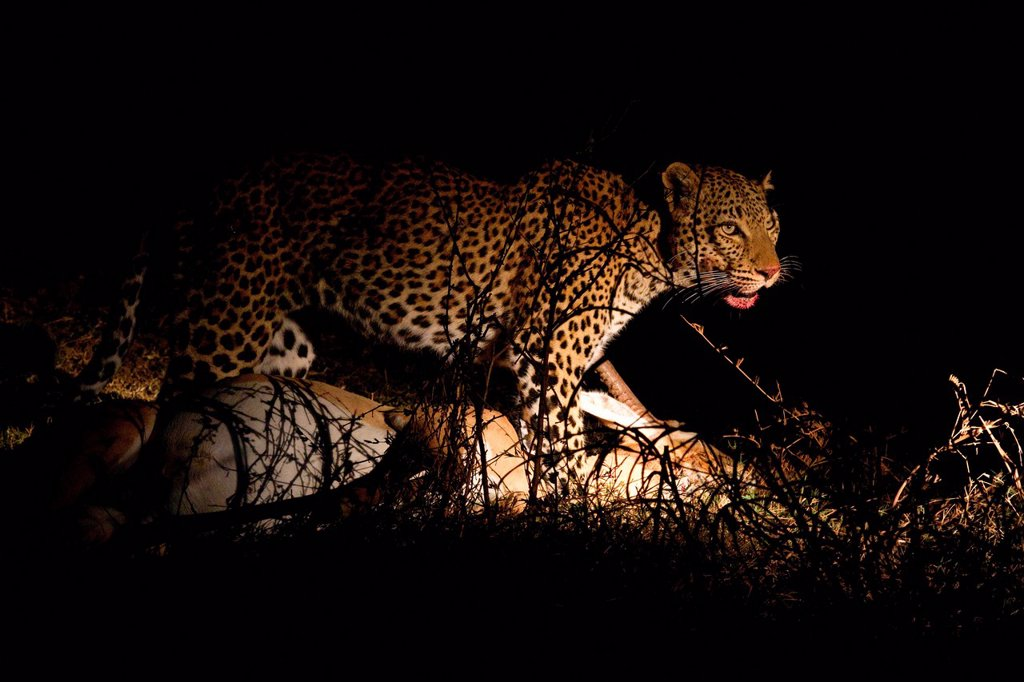 Stock Photo: 1439R-1136310 Leopard with fresh kill