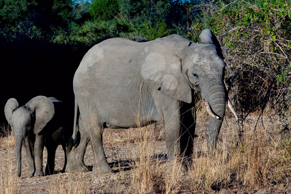 Stock Photo: 1439R-1136311 Female and baby elephant