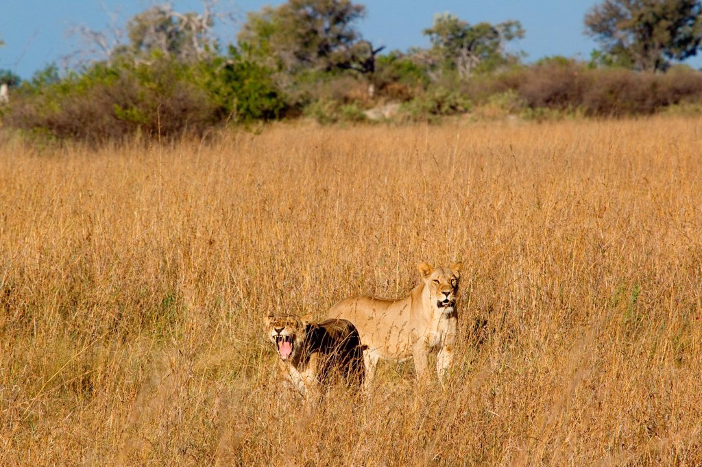 Stock Photo: 1439R-1136330 Lions on the African plains