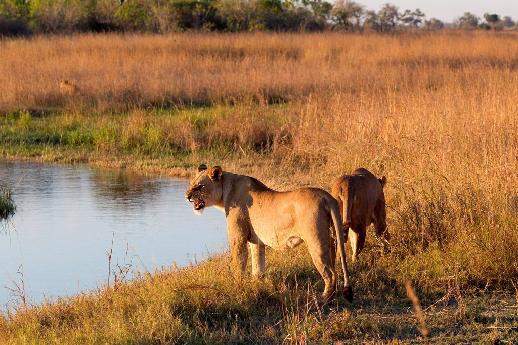 Lions on the prowl : Stock Photo