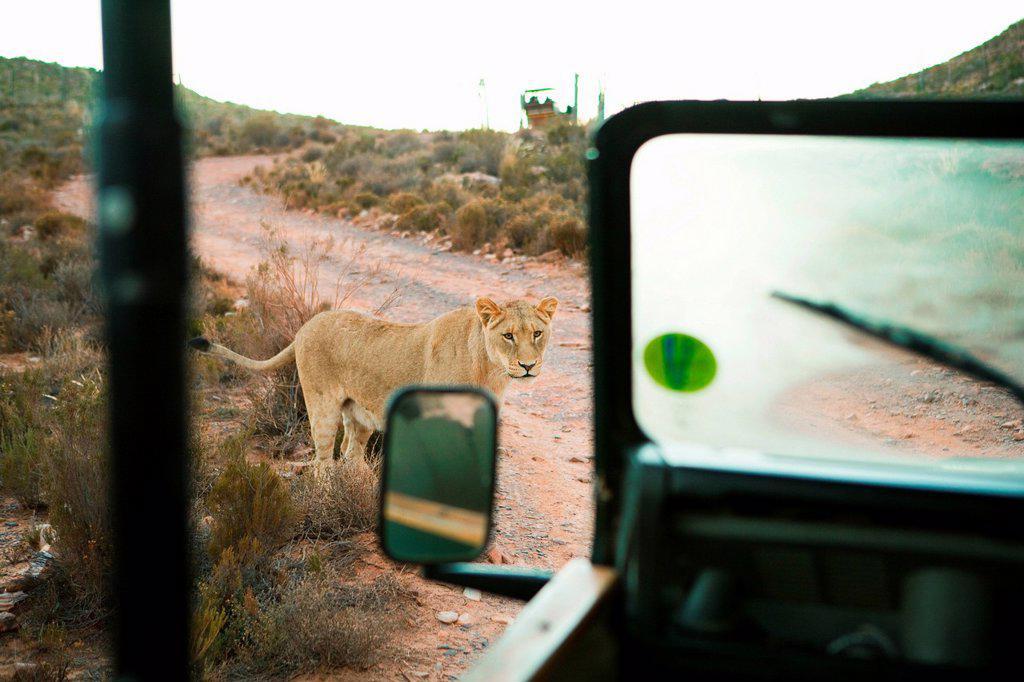 Lion near safari truck, South Africa : Stock Photo
