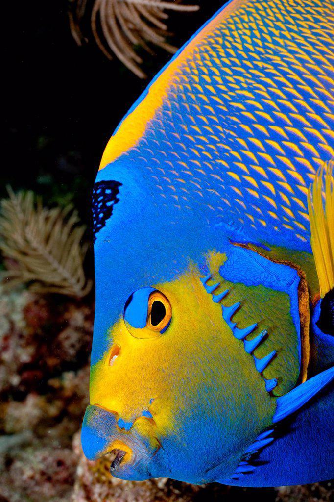 Queen angelfish, Florida : Stock Photo