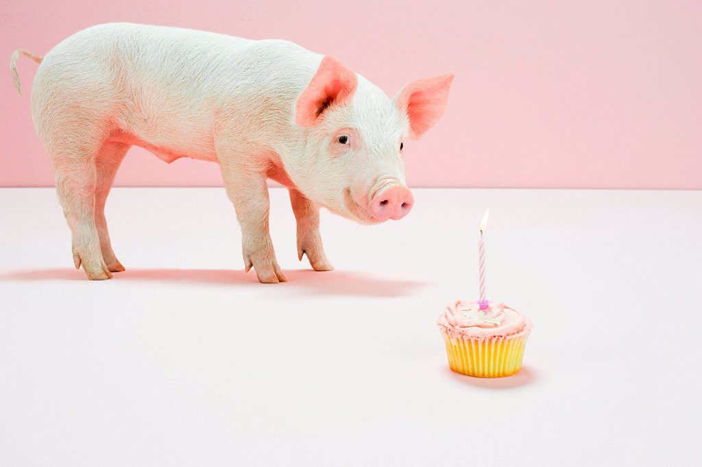 Piglet looking at birthday cake in studio : Stock Photo