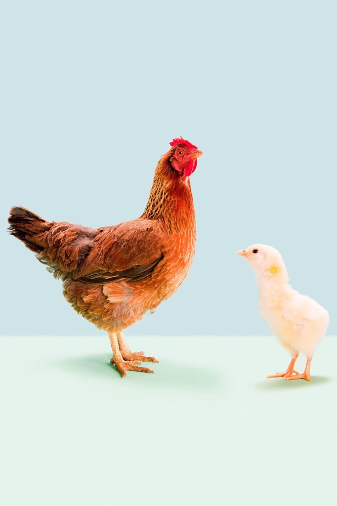 Hen standing with chick in studio : Stock Photo