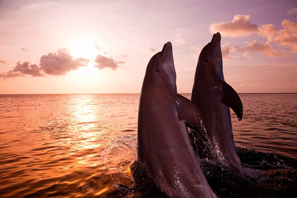 Bottlenose dolphins emerging from sea at sunset : Stock Photo