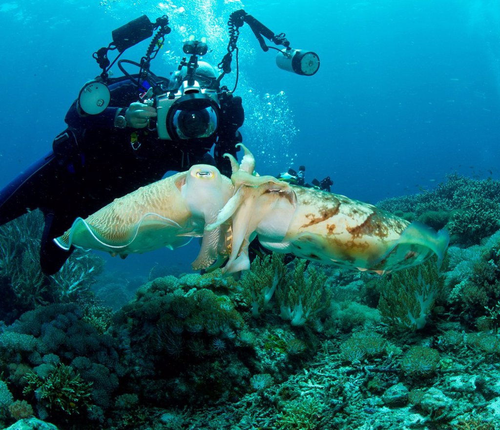 Stock Photo: 1439R-1142538 Diver and Mating Cuttlefish