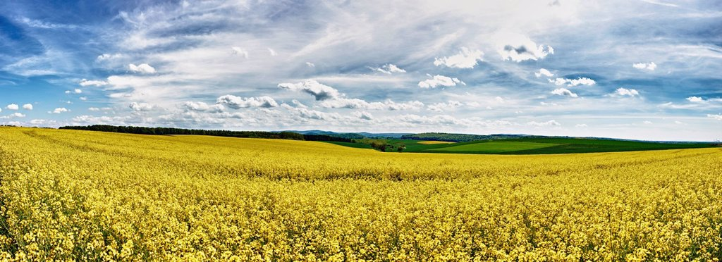 Stock Photo: 1439R-1142943 Field of oilseed rape in spring