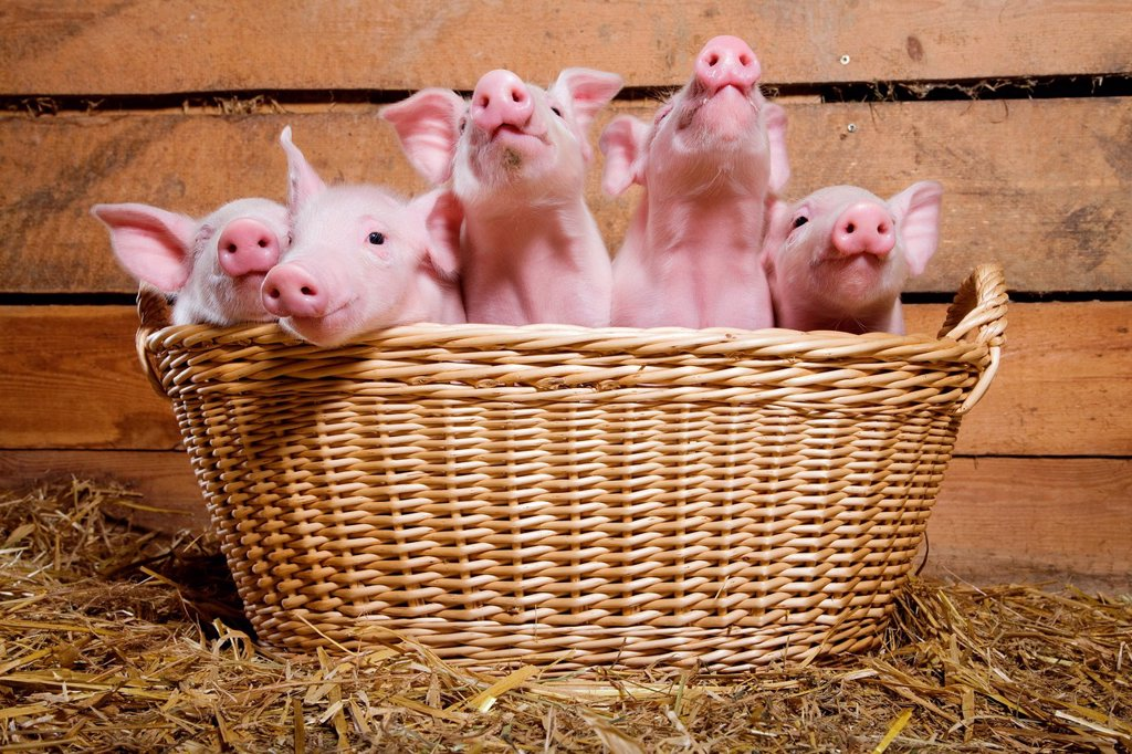 Stock Photo: 1439R-1146173 Five piglets in basket