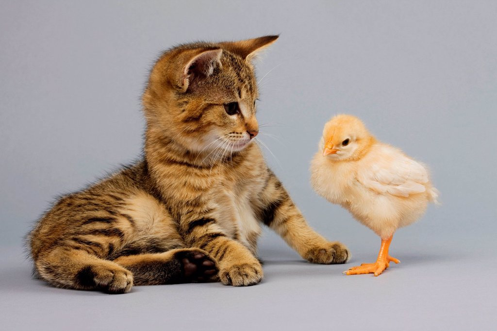 Stock Photo: 1439R-1146526 Kitten and chick