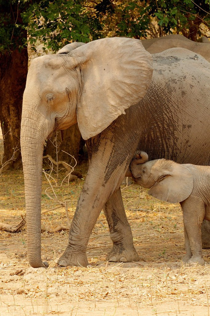 Stock Photo: 1439R-1147591 African Elephant with suckling calf, Mana Pools, Zimbabwe