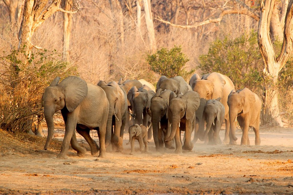 Herd of African Elephants on the move, Mana Pools, Zimbabwe : Stock Photo