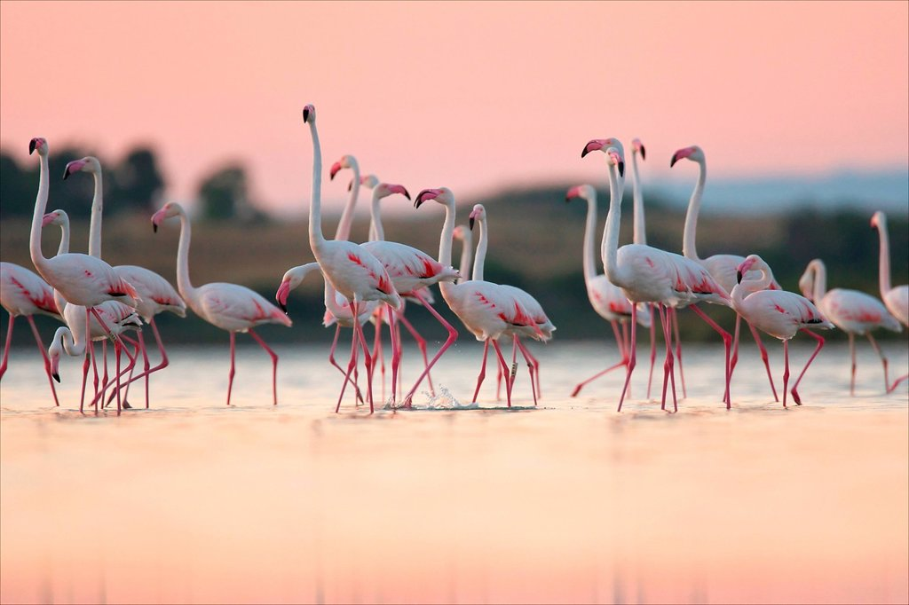 Greater Flamingos Phoenicopterus roseus, Oristano, Sardinia : Stock Photo