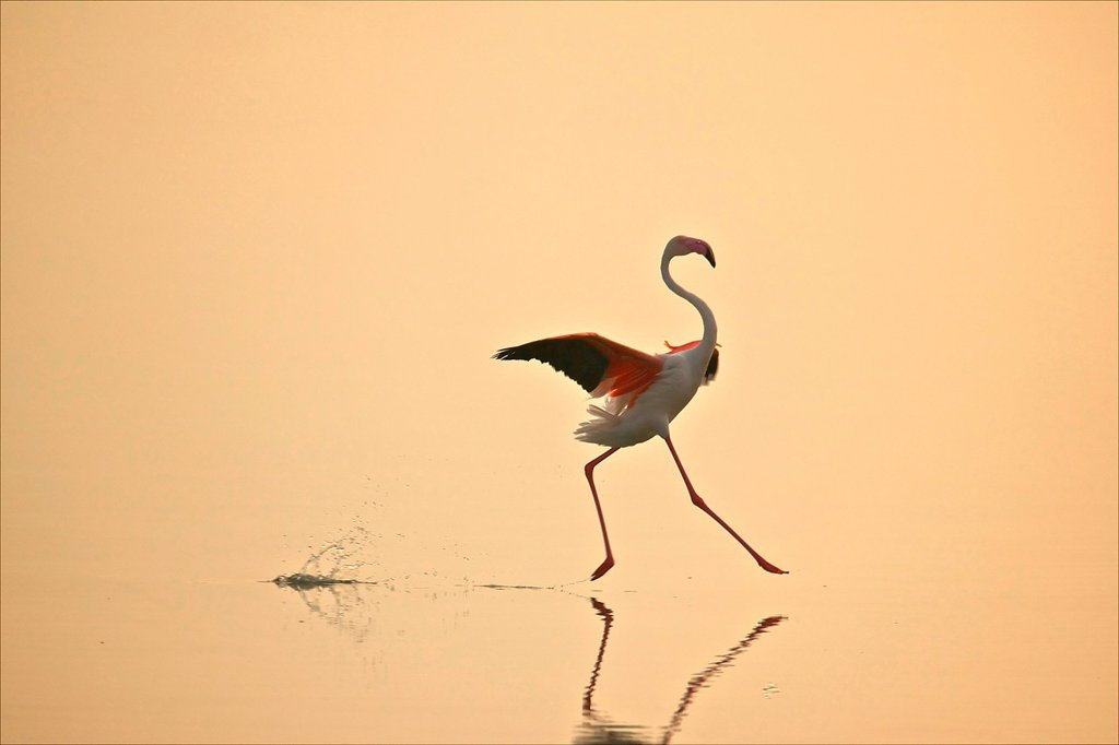 Stock Photo: 1439R-1147807 Greater Flamingo Phoenicopterus roseus moving gracefully on water, Oristano, Sardinia