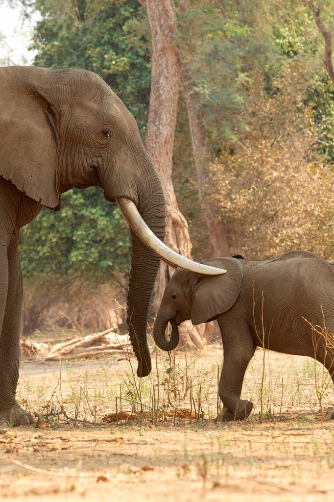 Stock Photo: 1439R-1147835 Adult male African Elephant with trunks over calf, Mana Pools, Zimbabwe
