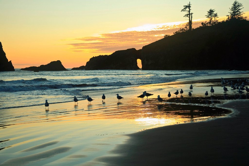 Stock Photo: 1439R-1148442 Seagulls on Second Beach at sunset near La Push, Olympic National Park, Washington, USA