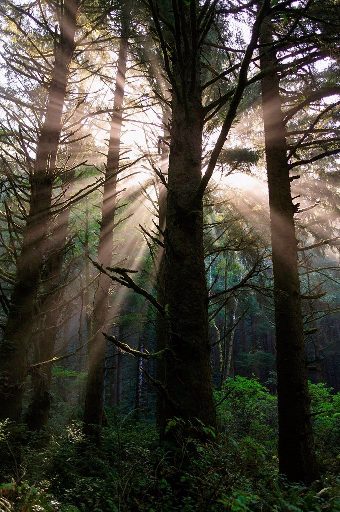 Stock Photo: 1439R-1148457 Sunbeams in rainforest near Hoh Rainforest, Olympic National Park, Washington, USA