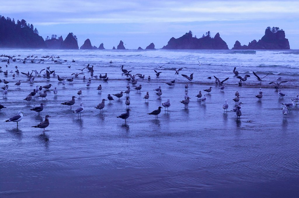 Large flock of seagulls in front of Point of the Arches, Shi_Shi Beach, Olympic National Park, Washington, USA : Stock Photo