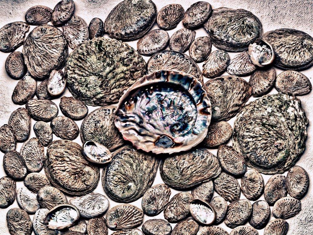 Stock Photo: 1439R-1148491 Abalone shells