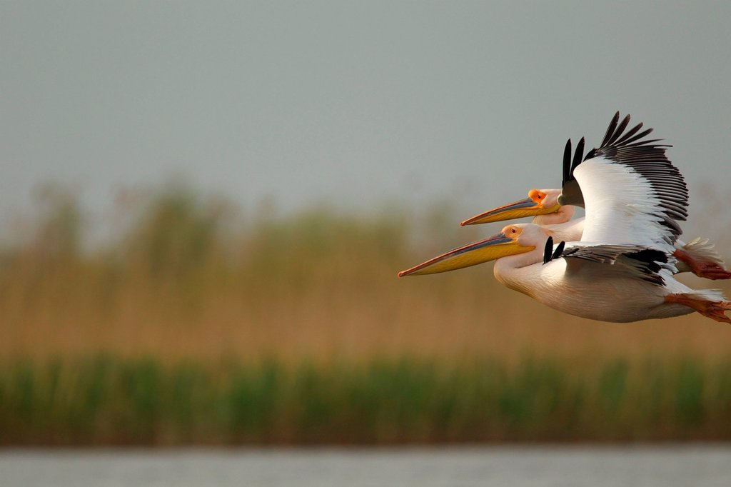 Stock Photo: 1439R-1149542 White pelican flying in Danube Delta, Romania