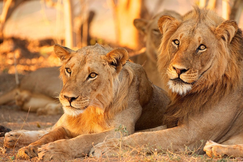 Stock Photo: 1439R-1149557 Lions, Mana Pools, Zimbabwe