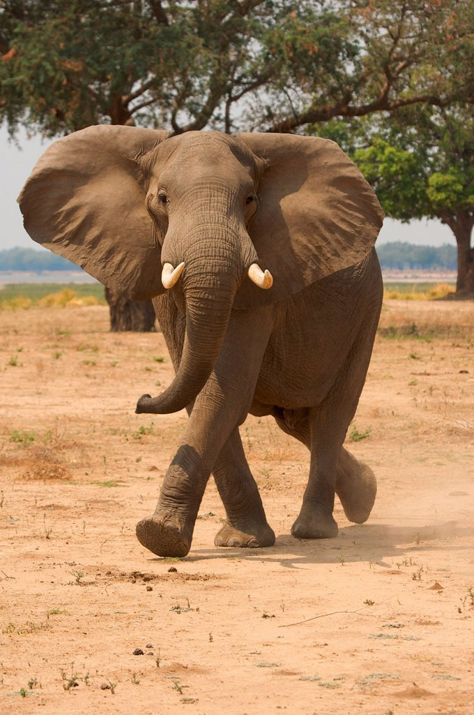 Stock Photo: 1439R-1149560 Elephant at Mana Pools, Zimbabwe