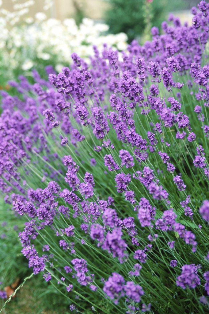 Stock Photo: 1439R-230014 A bunch of lavender