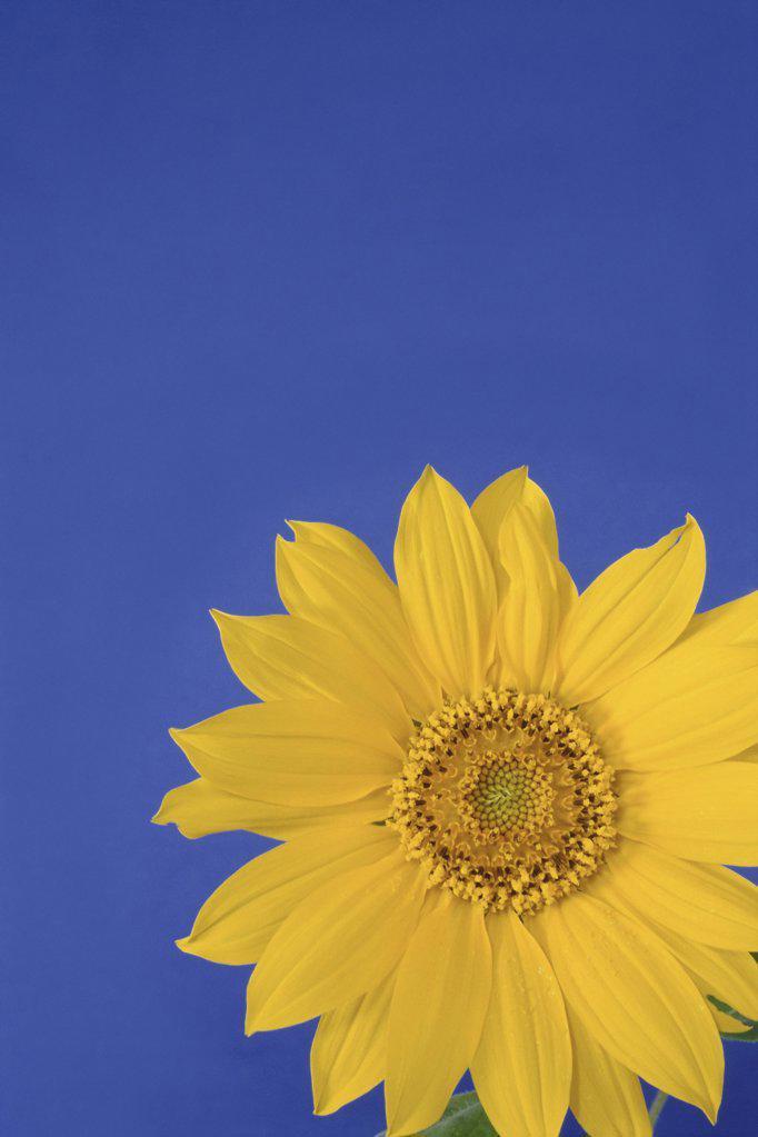 Stock Photo: 1439R-230022 Sunflower