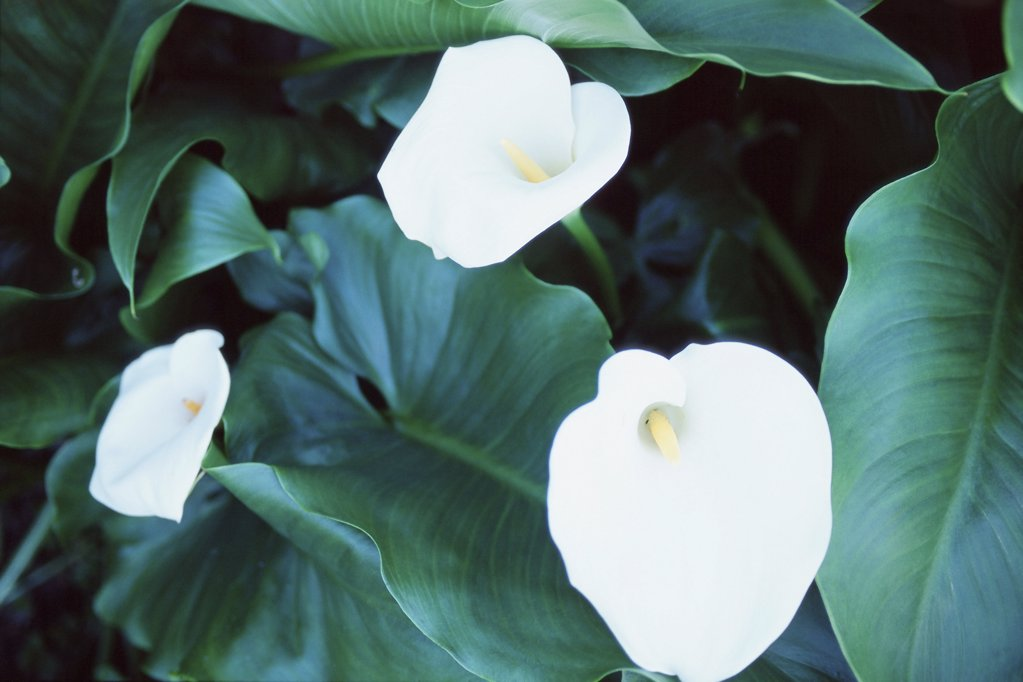Trumpet lily : Stock Photo