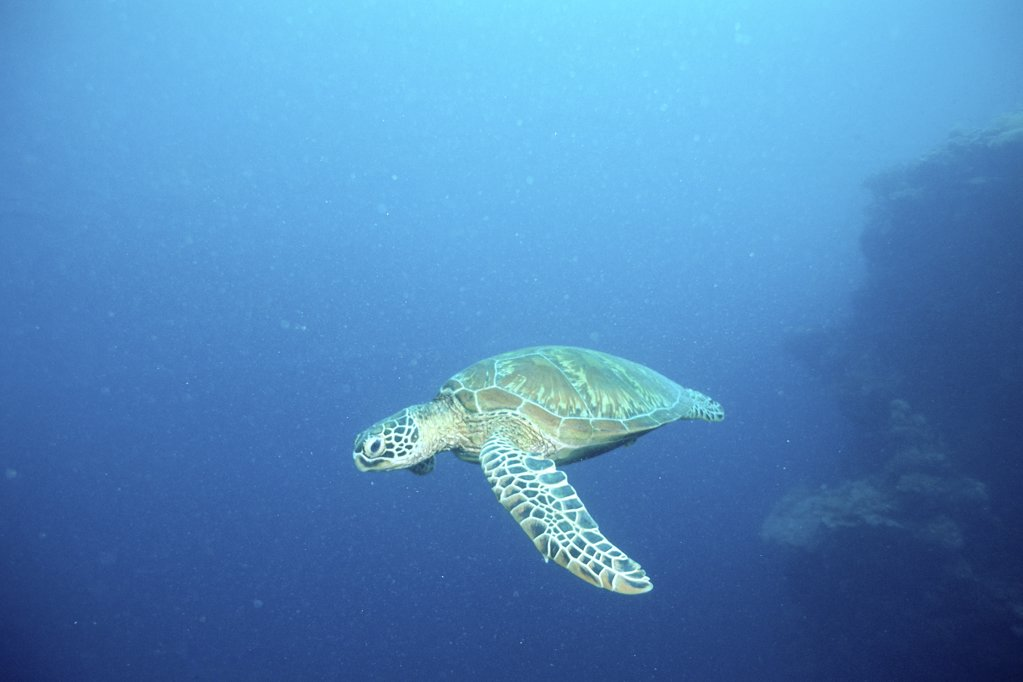 Stock Photo: 1439R-244042 Green turtle swimming