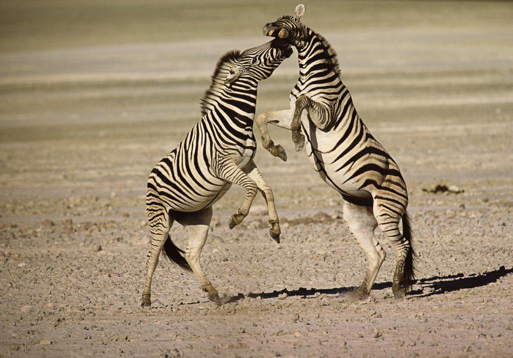 Stock Photo: 1439R-282075 Two Burchell's zebras fighting