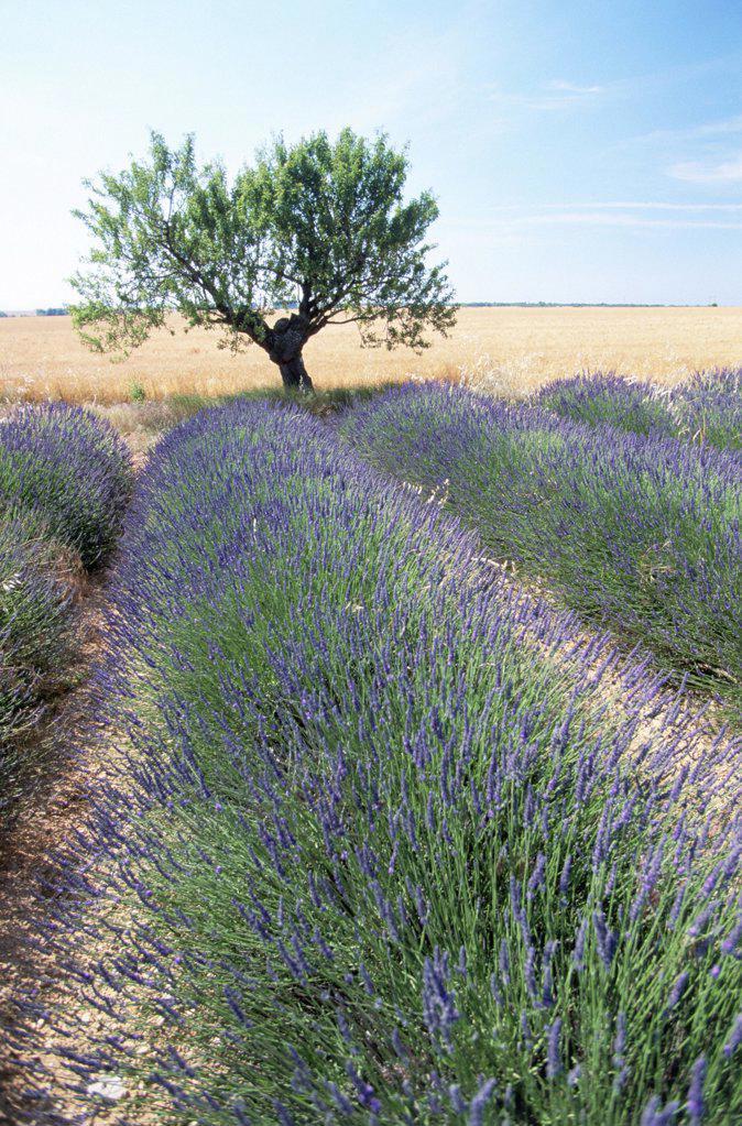 Stock Photo: 1439R-703078 Lavender field
