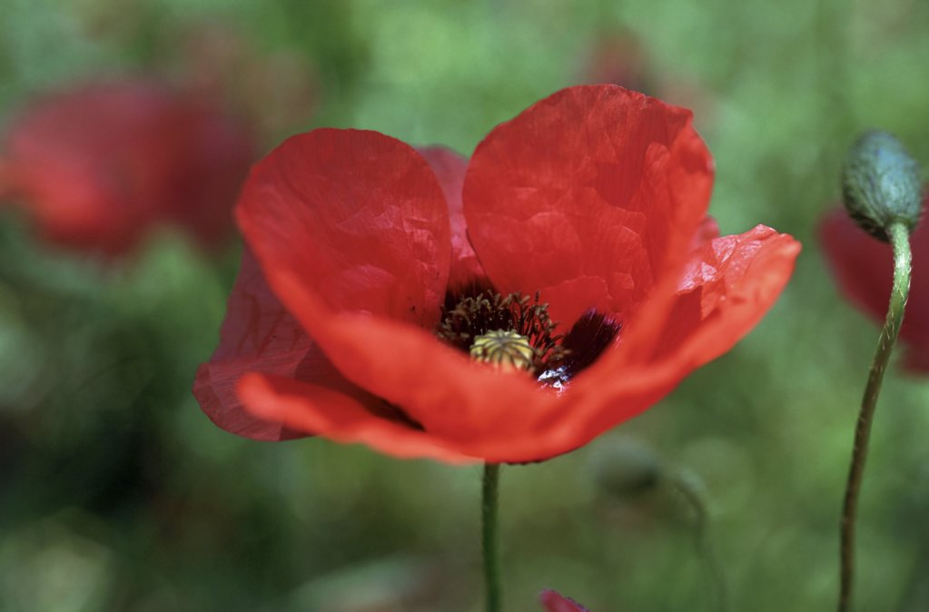 Stock Photo: 1439R-83080 Poppy