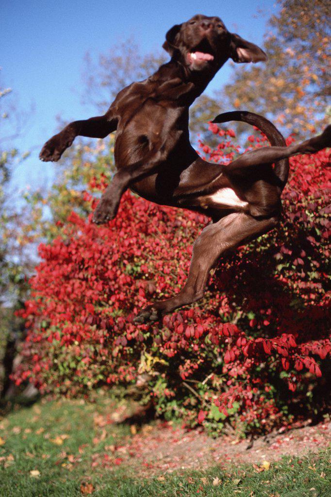 Stock Photo: 1439R-990575 Black dog jumping