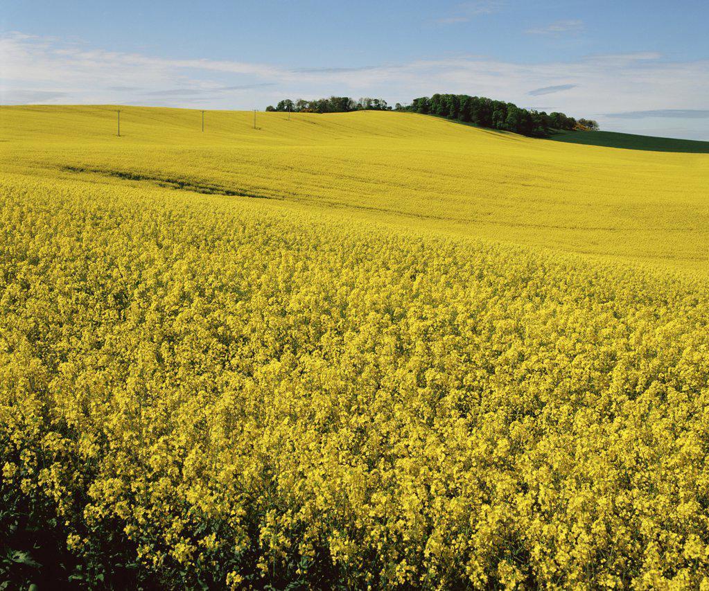 Stock Photo: 1439R-990603 Field of oilseed rape