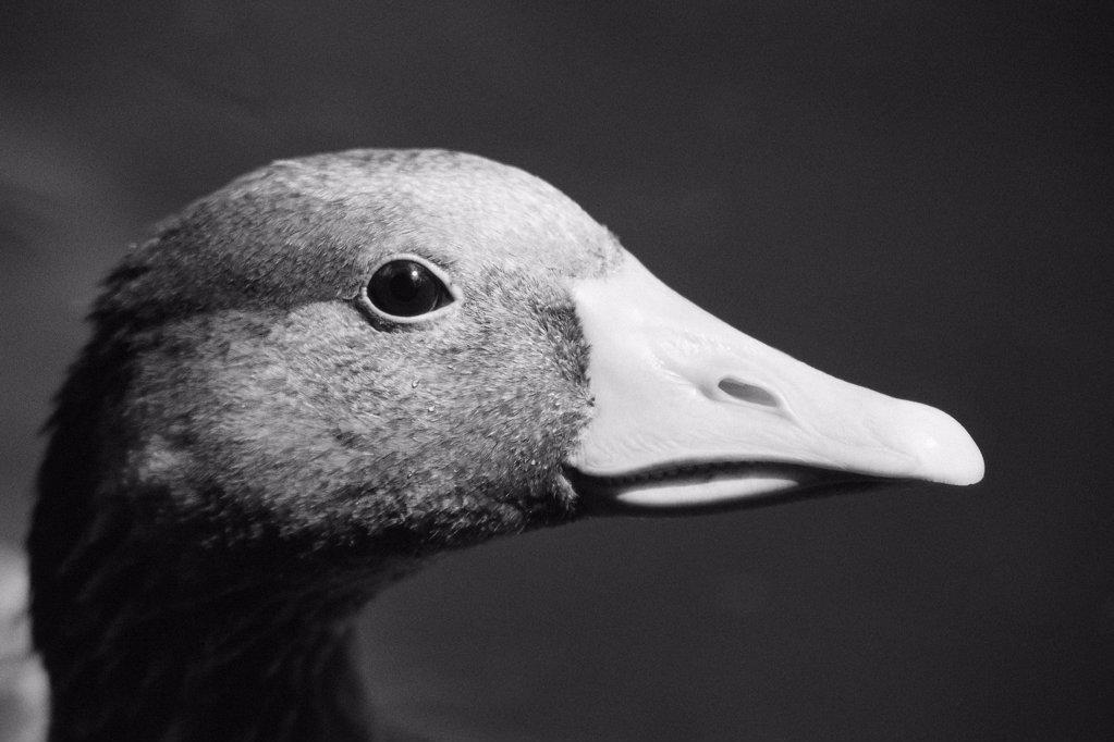 Stock Photo: 1439R-990637 Duck profile