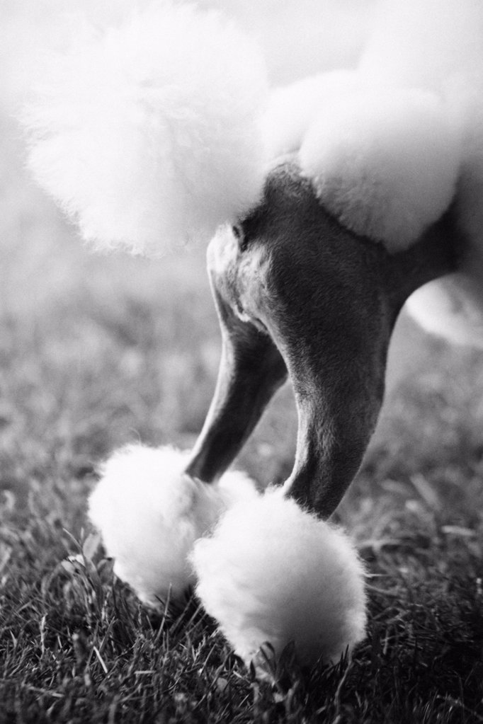 Stock Photo: 1439R-990998 Hindquarters of a poodle