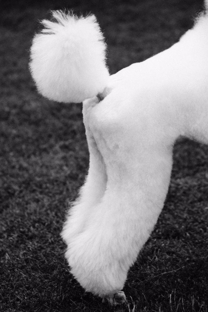 Stock Photo: 1439R-990999 Hindquarters of a poodle