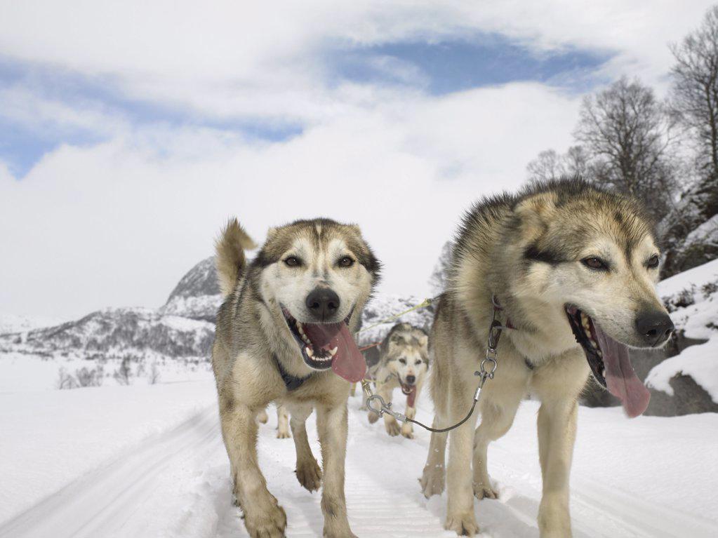 Stock Photo: 1439R-991870 Huskies trekking in the snow