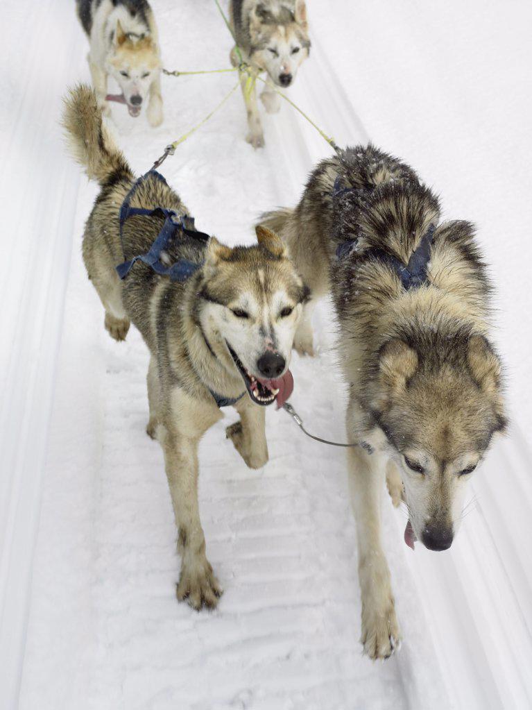 Stock Photo: 1439R-991929 Huskies