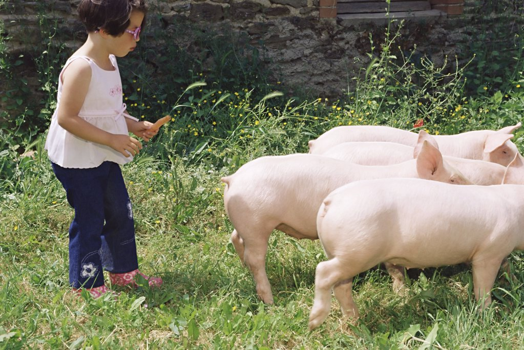 Girl following a group of pigs : Stock Photo