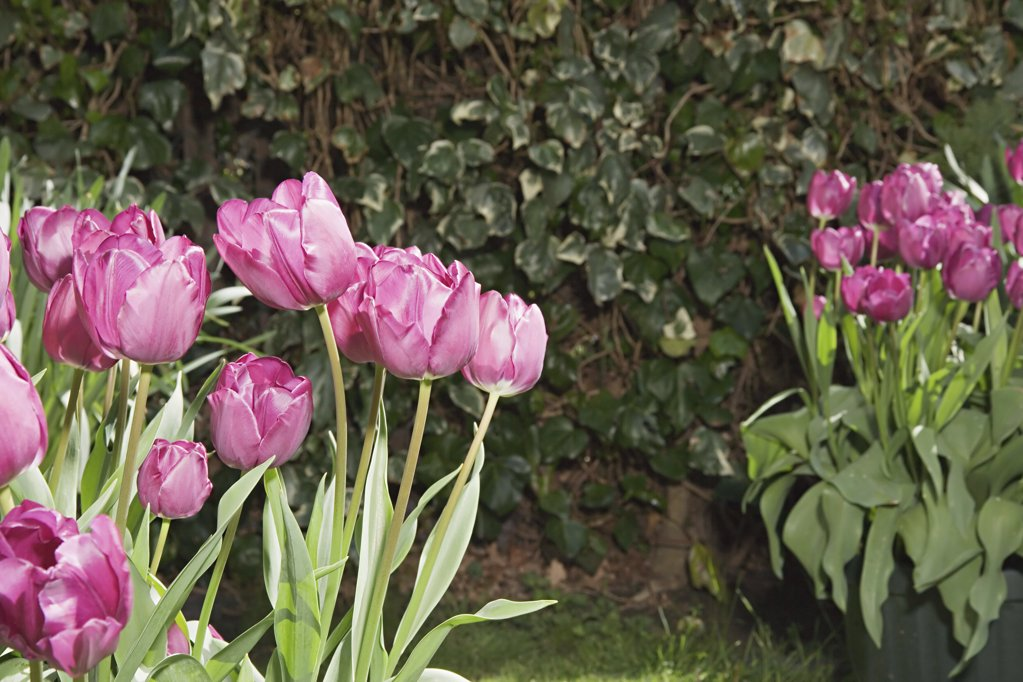 Tulips in a garden : Stock Photo