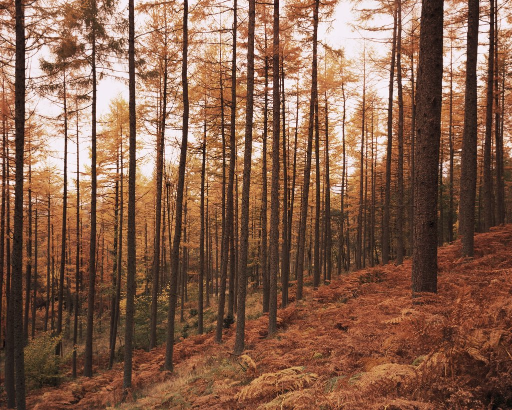 Pine trees in autumn at sunset : Stock Photo