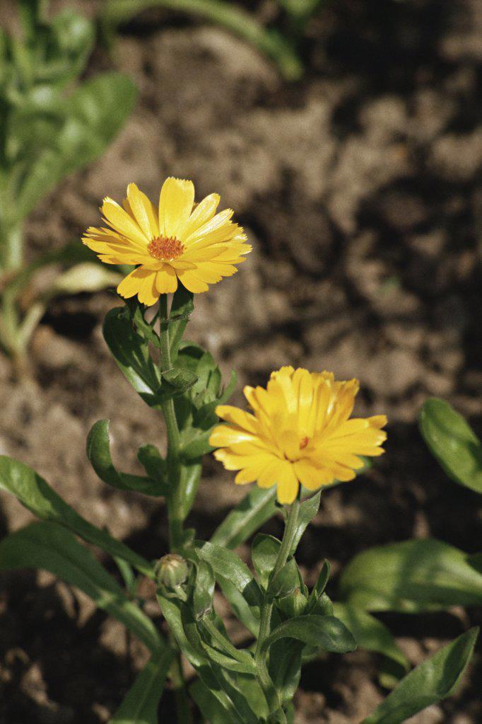 Stock Photo: 1439R-995108 Marigold flowers