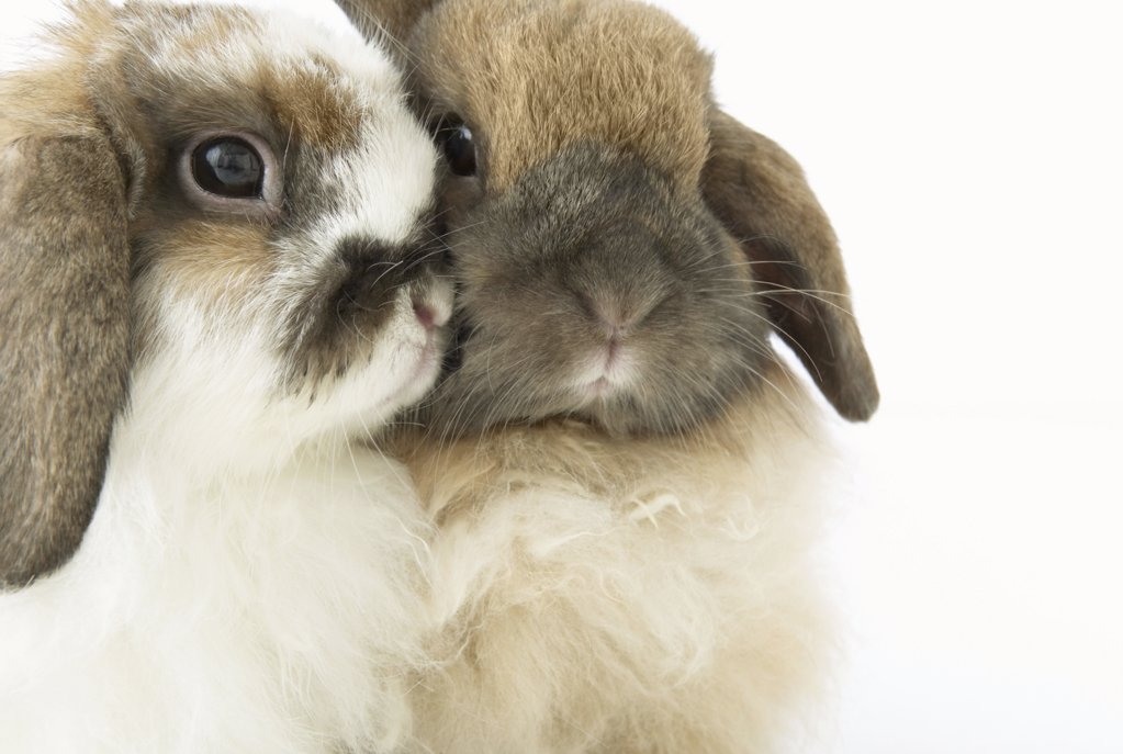 Stock Photo: 1439R-998464 Two cute bunnies cheek to cheek