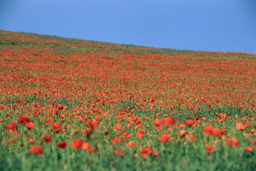 Poppies in a field : Stock Photo